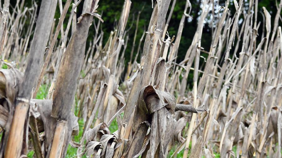 Campo de millo seco. Foto: Santi Alvite